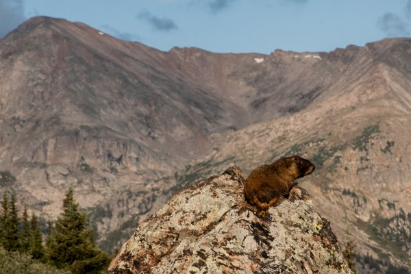 climate change mountains marmot