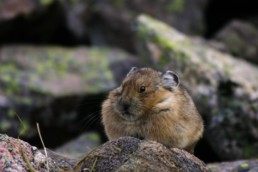 climate change mountains pika